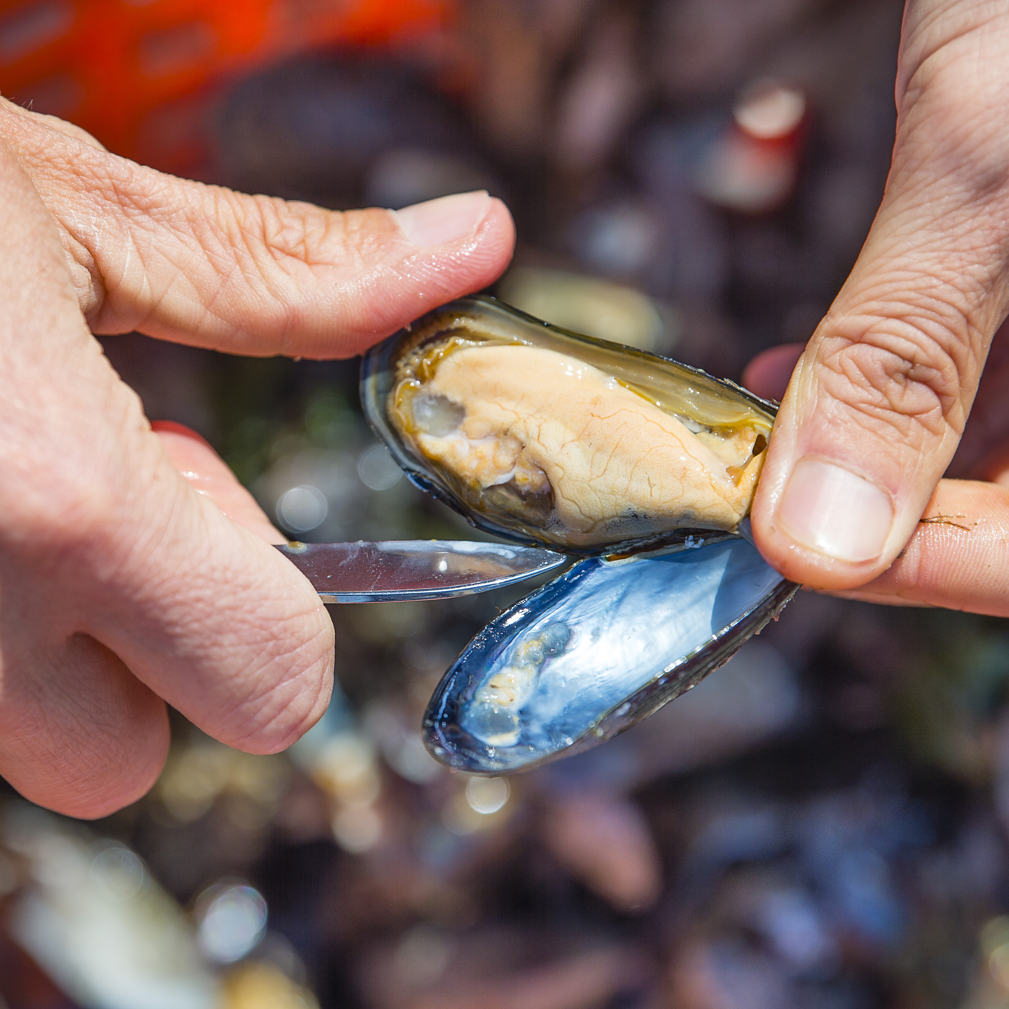 Eerste Zeeuwse hangcultuurmosselen geoogst